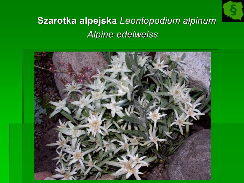 Szarotka alpejska Leontopodium alpinum Szarotka alpejska Leontopodium alpinum Alpine edelweiss Alpine edelweiss