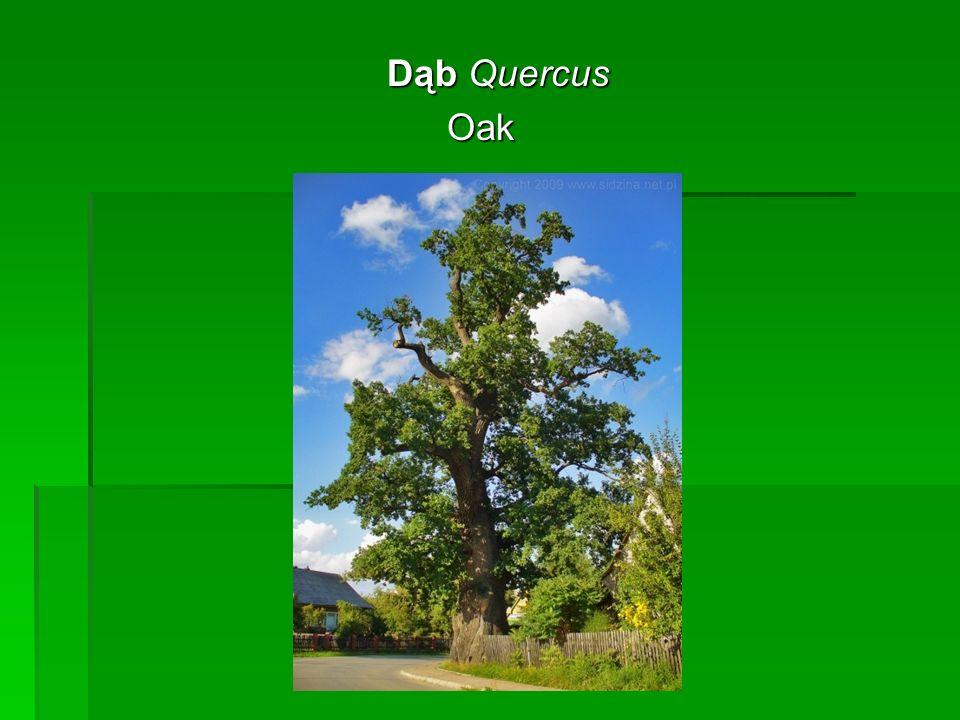 Dąb Quercus Dąb QuercusOak