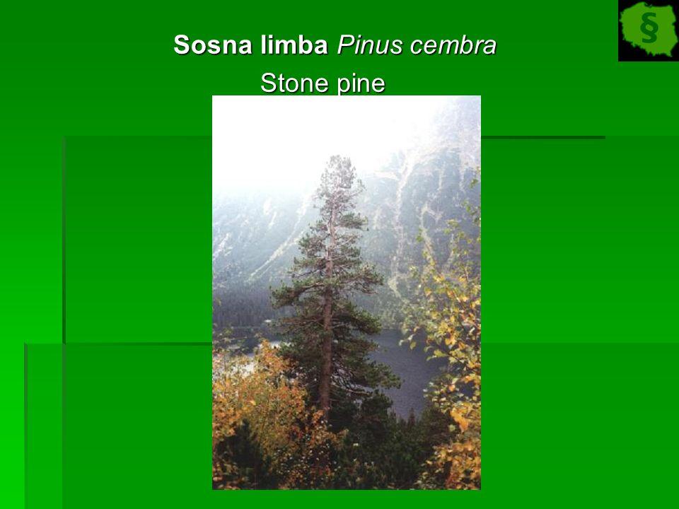 Sosna limba Pinus cembra Sosna limba Pinus cembra Stone pine