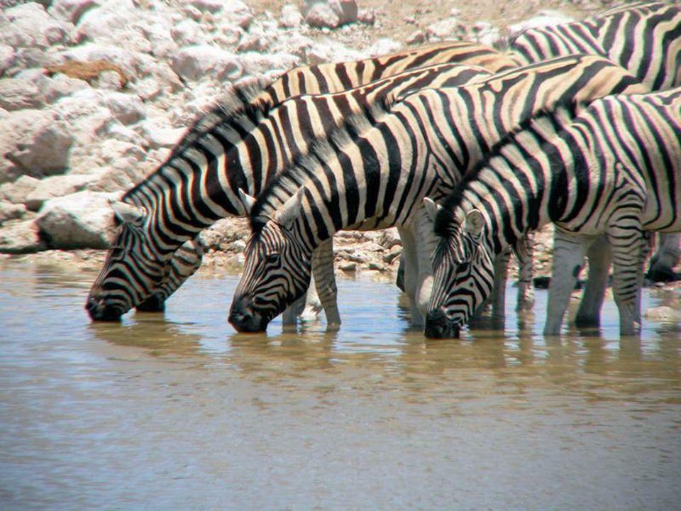 Park znany jest z największej populacji czarnych nosorożców.