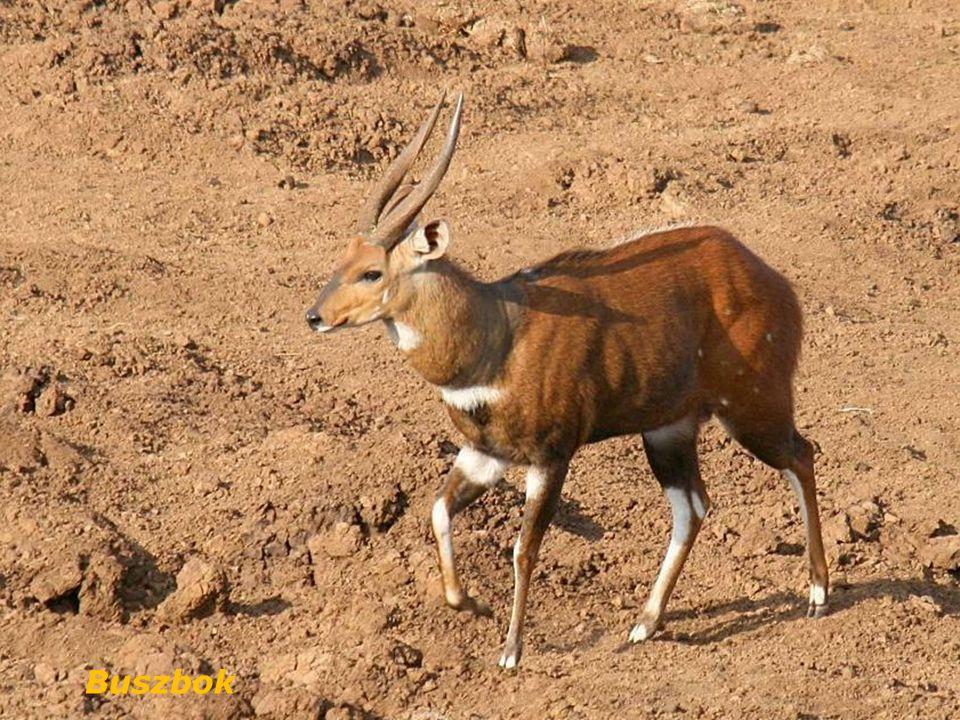 Struś czerwonoskóry, struś masajski, (Struthio camelus)