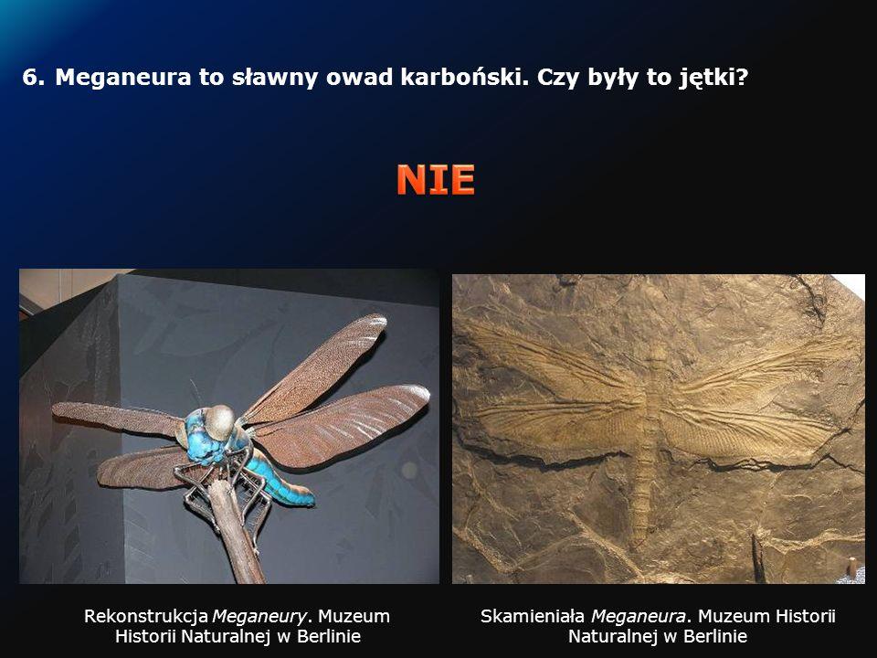 5.Czy pteranodon mógł być zagrożeniem dla populacji tyranozaurów?