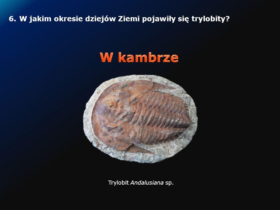 5.W jakim okresie dziejów Ziemi pojawiły się pierwsze amonitowate?