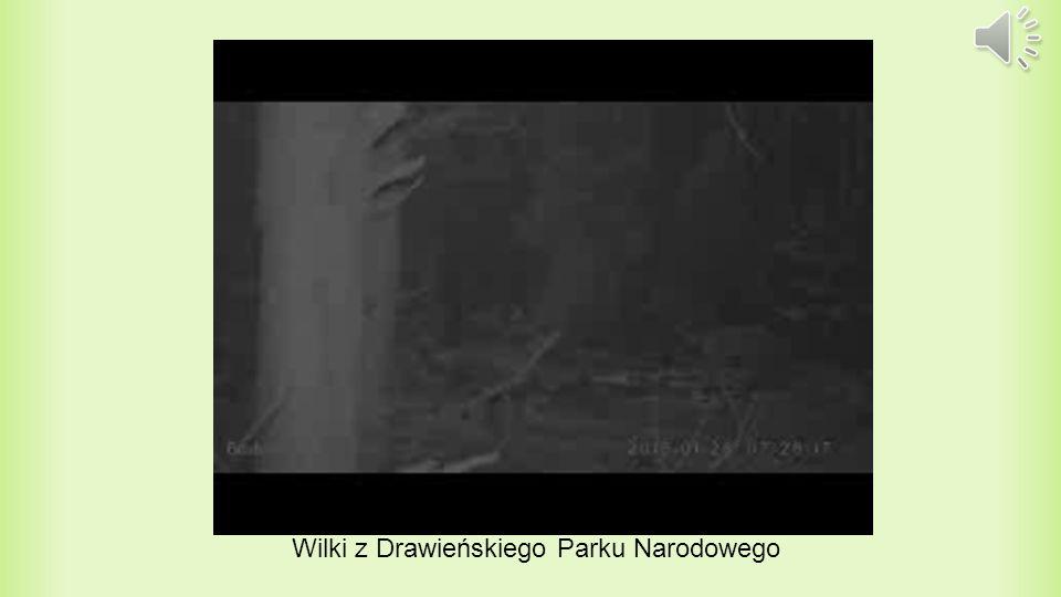 Promowanie Ochrony Lasów i inne ciekawostki Odwiedzając Nadleśnictwo Drawno, można dostać wiele ciekawych gazetek i ulotek, promujących ochronę lasów, przestawiających zamieszkujące tam zwierzęta oraz wiele ciekawych informacji, które warto poznać.