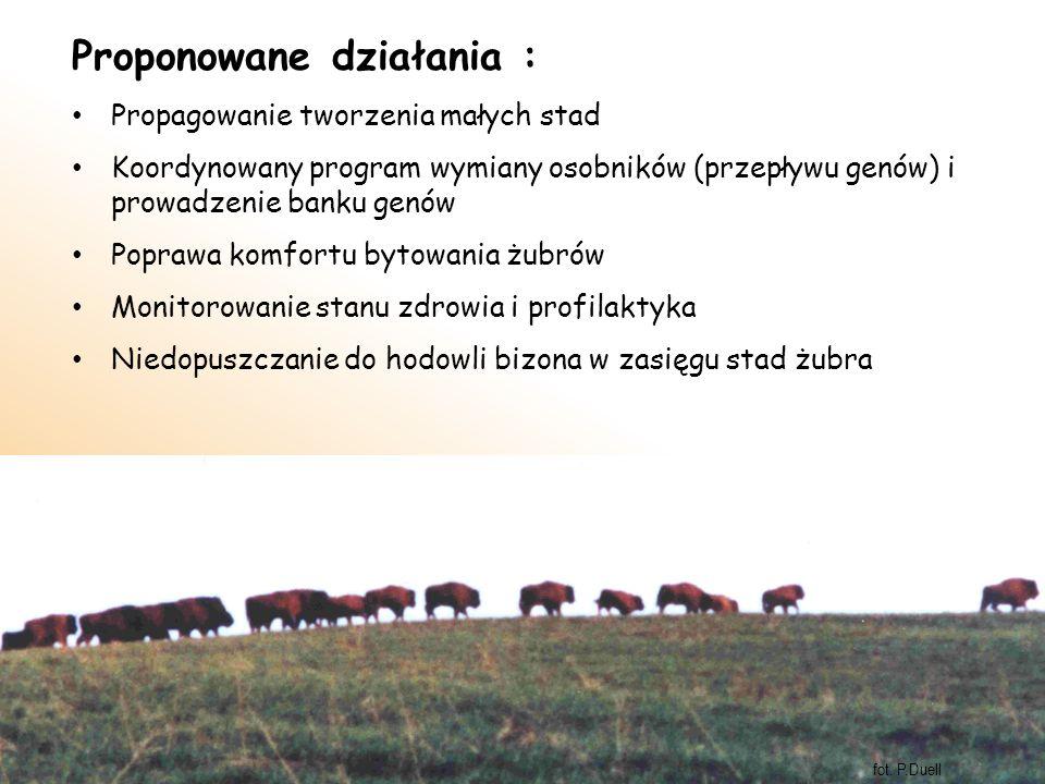 Proponowane działania : Propagowanie tworzenia małych stad Koordynowany program wymiany osobników (przepływu genów) i prowadzenie banku genów Poprawa komfortu bytowania żubrów Monitorowanie stanu zdrowia i profilaktyka Niedopuszczanie do hodowli bizona w zasięgu stad żubra fot.