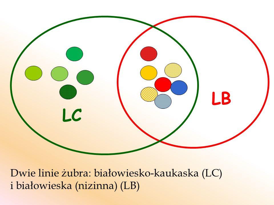 Dwie linie żubra: białowiesko-kaukaska (LC) i białowieska (nizinna) (LB) LB LC