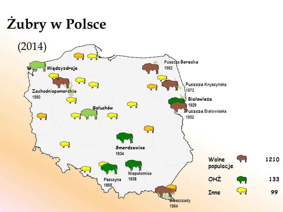 Zagrożenia: Niewielka liczebność, fragmentacja Brak możliwości swobodnego rozprzestrzenienia Ograniczona pula genowa i negatywne skutki inbredu Choroby i pasożyty Krzyżowanie z bizonem fot.