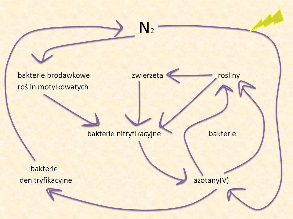 N 2 bakterie brodawkowe zwierzęta rośliny roślin motylkowatych bakterie nitryfikacyjne bakterie bakterie denitryfikacyjne azotany(V)