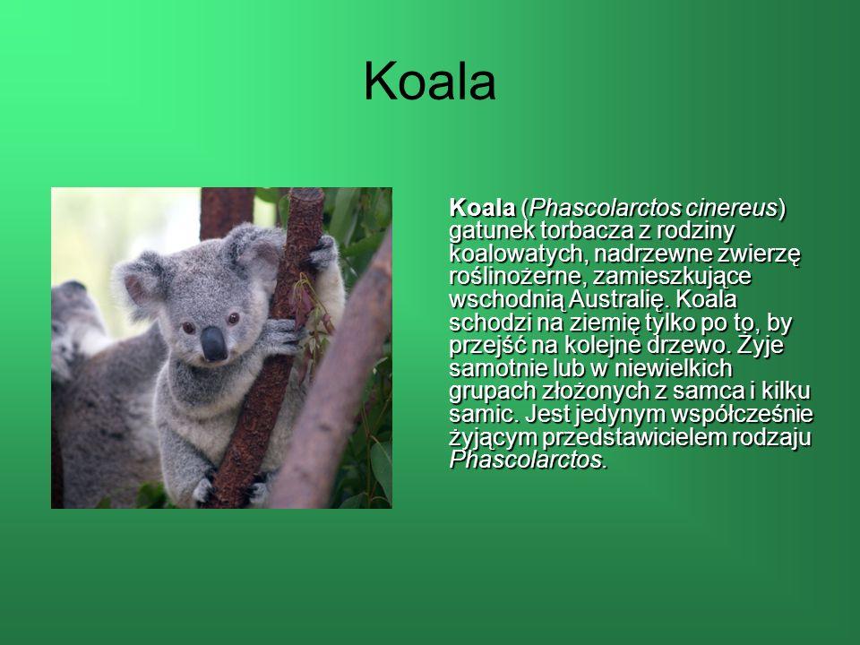 Koala Koala (Phascolarctos cinereus) gatunek torbacza z rodziny koalowatych, nadrzewne zwierzę roślinożerne, zamieszkujące wschodnią Australię.