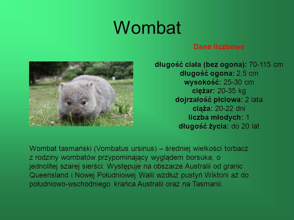 Wombat Wombat tasmański (Vombatus ursinus) – średniej wielkości torbacz z rodziny wombatów przypominający wyglądem borsuka, o jednolitej szarej sierści.