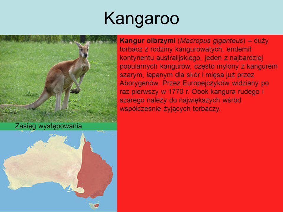 Kangaroo Kangur olbrzymi (Macropus giganteus) – duży torbacz z rodziny kangurowatych, endemit kontynentu australijskiego, jeden z najbardziej popularnych kangurów, często mylony z kangurem szarym, łapanym dla skór i mięsa już przez Aborygenów.
