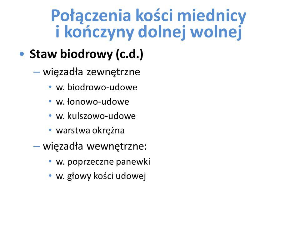 Staw biodrowy (c.d.) – więzadła zewnętrzne w. biodrowo-udowe w. łonowo-udowe w. kulszowo-udowe warstwa okrężna – więzadła wewnętrzne: w. poprzeczne pa