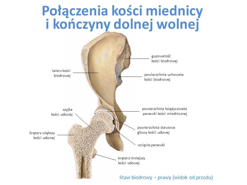 Staw biodrowy – prawy (widok od przodu) talerz kości biodrowej szyjka kości udowej wcięcie panewki powierzchnia księżycowata panewki kości miednicznej powierzchnia uchowata kości biodrowej krętarz mniejszy kości udowej powierzchnia stawowa głowy kości udowej krętarz większy kości udowej guzowatość kości biodrowej Połączenia kości miednicy i kończyny dolnej wolnej