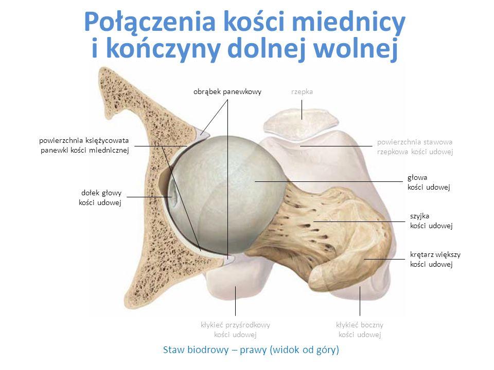Staw biodrowy – prawy (widok od góry) kłykieć przyśrodkowy kości udowej dołek głowy kości udowej szyjka kości udowej głowa kości udowej powierzchnia księżycowata panewki kości miednicznej rzepka powierzchnia stawowa rzepkowa kości udowej krętarz większy kości udowej kłykieć boczny kości udowej obrąbek panewkowy Połączenia kości miednicy i kończyny dolnej wolnej