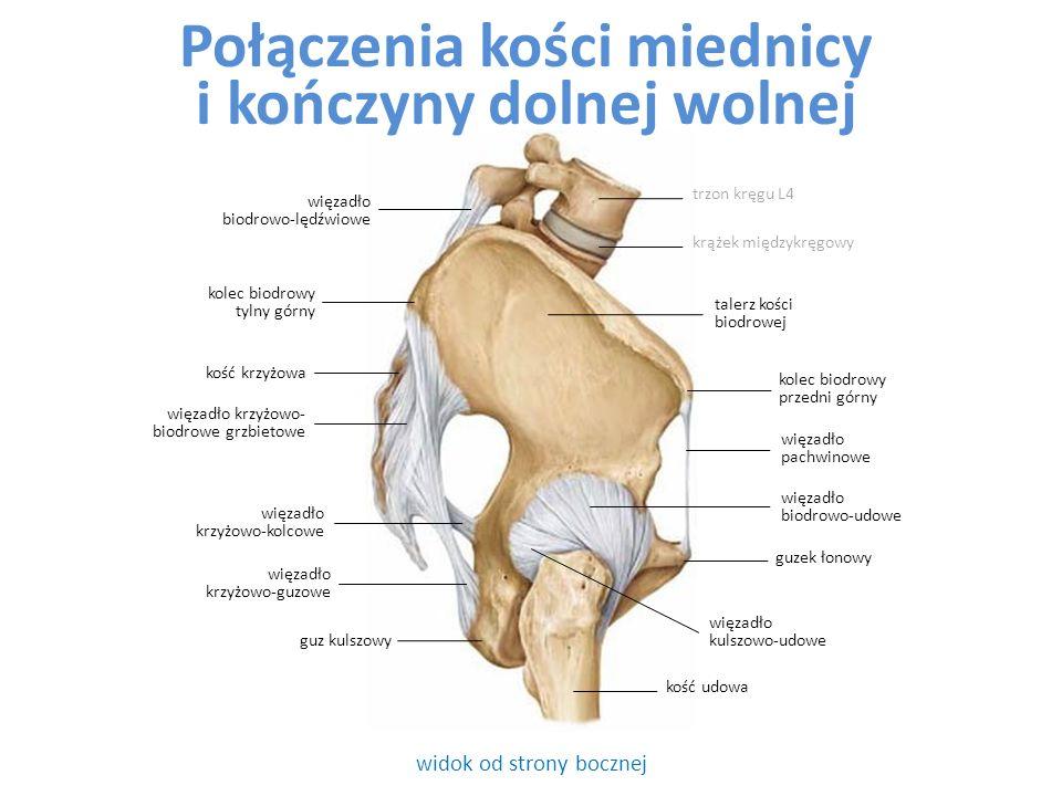 widok od strony bocznej guz kulszowy więzadło biodrowo-lędźwiowe Połączenia kości miednicy i kończyny dolnej wolnej kolec biodrowy przedni górny guzek