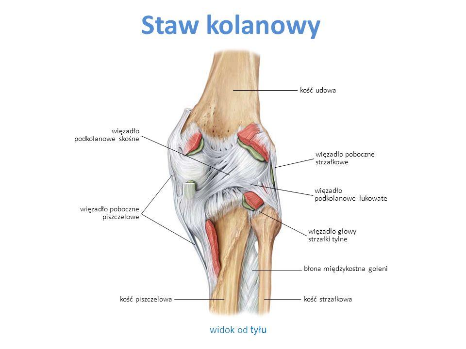 Staw kolanowy widok od tyłu błona międzykostna goleni więzadło głowy strzałki tylne więzadło poboczne piszczelowe więzadło poboczne strzałkowe więzadło podkolanowe skośne więzadło podkolanowe łukowate kość piszczelowakość strzałkowa kość udowa