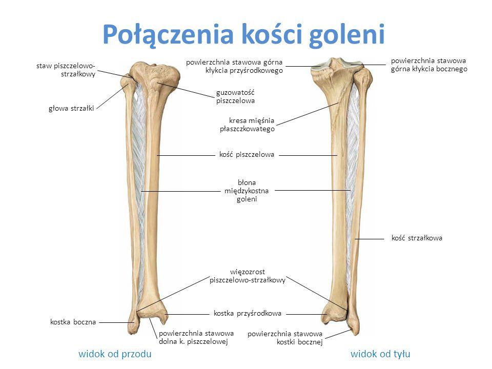 Połączenia kości goleni widok od przodu widok od tyłu kość piszczelowa staw piszczelowo- strzałkowy kostka boczna powierzchnia stawowa kostki bocznej powierzchnia stawowa górna kłykcia przyśrodkowego błona międzykostna goleni kostka przyśrodkowa powierzchnia stawowa górna kłykcia bocznego więzozrost piszczelowo-strzałkowy głowa strzałki kość strzałkowa guzowatość piszczelowa kresa mięśnia płaszczkowatego powierzchnia stawowa dolna k.