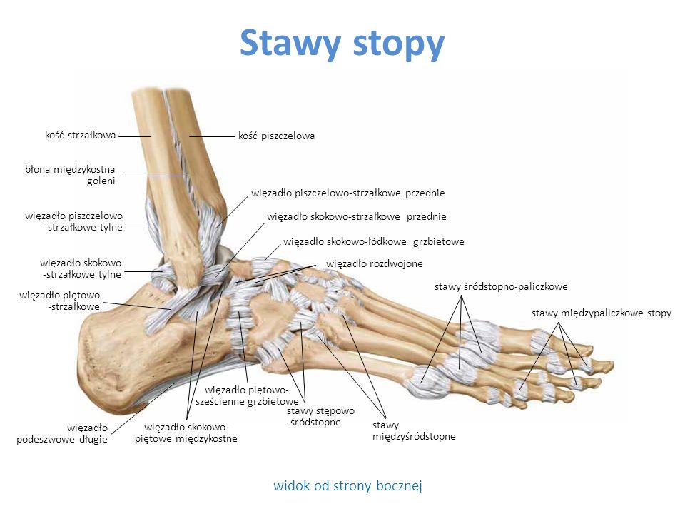 Stawy stopy widok od strony bocznej kość strzałkowa kość piszczelowa stawy międzyśródstopne błona międzykostna goleni stawy śródstopno-paliczkowe więzadło piszczelowo-strzałkowe przednie więzadło skokowo-strzałkowe przednie więzadło skokowo-łódkowe grzbietowe stawy międzypaliczkowe stopy więzadło podeszwowe długie więzadło piszczelowo -strzałkowe tylne więzadło skokowo -strzałkowe tylne więzadło piętowo -strzałkowe więzadło skokowo- piętowe międzykostne więzadło piętowo- sześcienne grzbietowe więzadło rozdwojone stawy stępowo -śródstopne