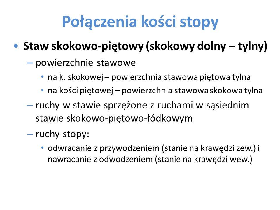 Połączenia kości stopy Staw skokowo-piętowy (skokowy dolny – tylny) – powierzchnie stawowe na k. skokowej – powierzchnia stawowa piętowa tylna na kośc