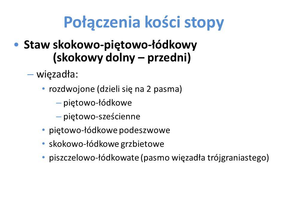 Połączenia kości stopy Staw skokowo-piętowo-łódkowy (skokowy dolny – przedni) – więzadła: rozdwojone (dzieli się na 2 pasma) – piętowo-łódkowe – pięto