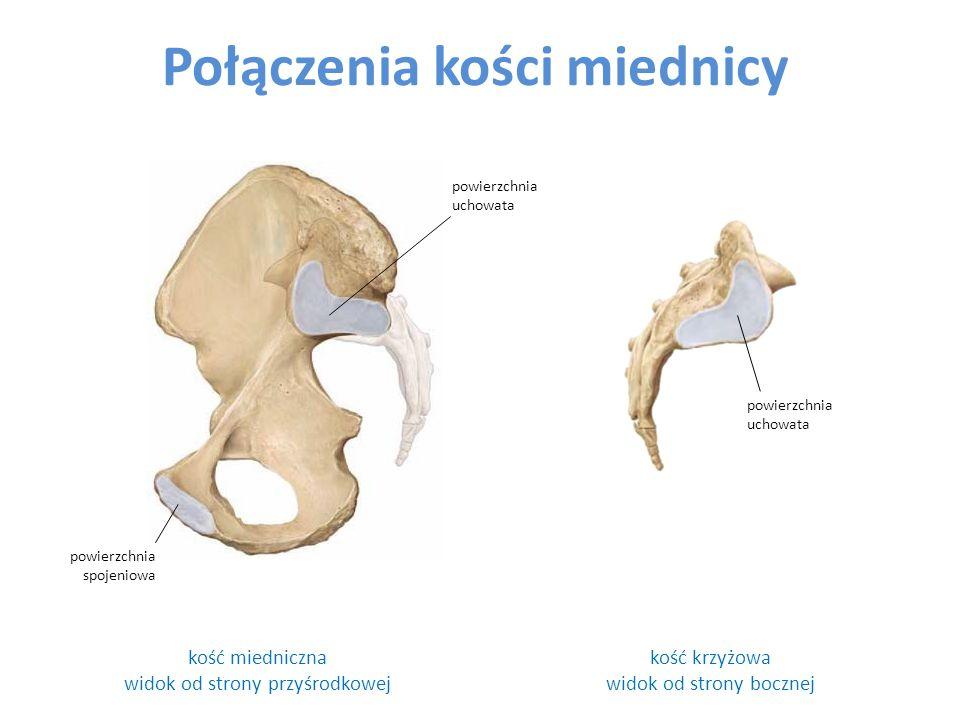 Połączenia kości miednicy kość miedniczna widok od strony przyśrodkowej powierzchnia uchowata kość krzyżowa widok od strony bocznej powierzchnia uchowata powierzchnia spojeniowa