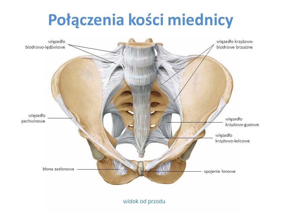 widok od strony bocznej błona zasłonowa więzadło biodrowo-lędźwiowe Połączenia kości miednicy i kończyny dolnej wolnej kolec biodrowy przedni górny więzadło głowy kości udowej więzadło pachwinowe talerz kości biodrowej trzon kręgu L4 powierzchnia stawowa głowy kości udowej krętarz mniejszy kości udowej kolec biodrowy tylny górny kość krzyżowa więzadło krzyżowo- biodrowe grzbietowe więzadło krzyżowo-kolcowe więzadło krzyżowo-guzowe obrąbek panewkowy krążek międzykręgowy powierzchnia księżycowata panewki kości miednicznej