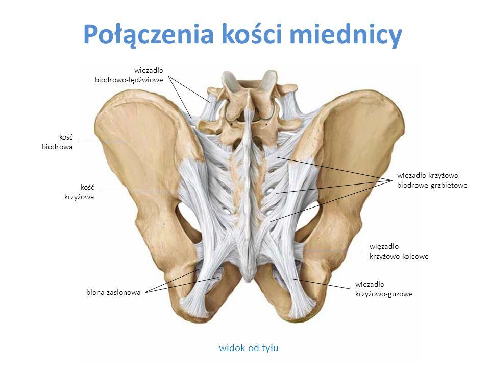 Połączenia kości miednicy widok od tyłu błona zasłonowa więzadło biodrowo-lędźwiowe kość biodrowa więzadło krzyżowo-guzowe więzadło krzyżowo-kolcowe więzadło krzyżowo- biodrowe grzbietowe kość krzyżowa