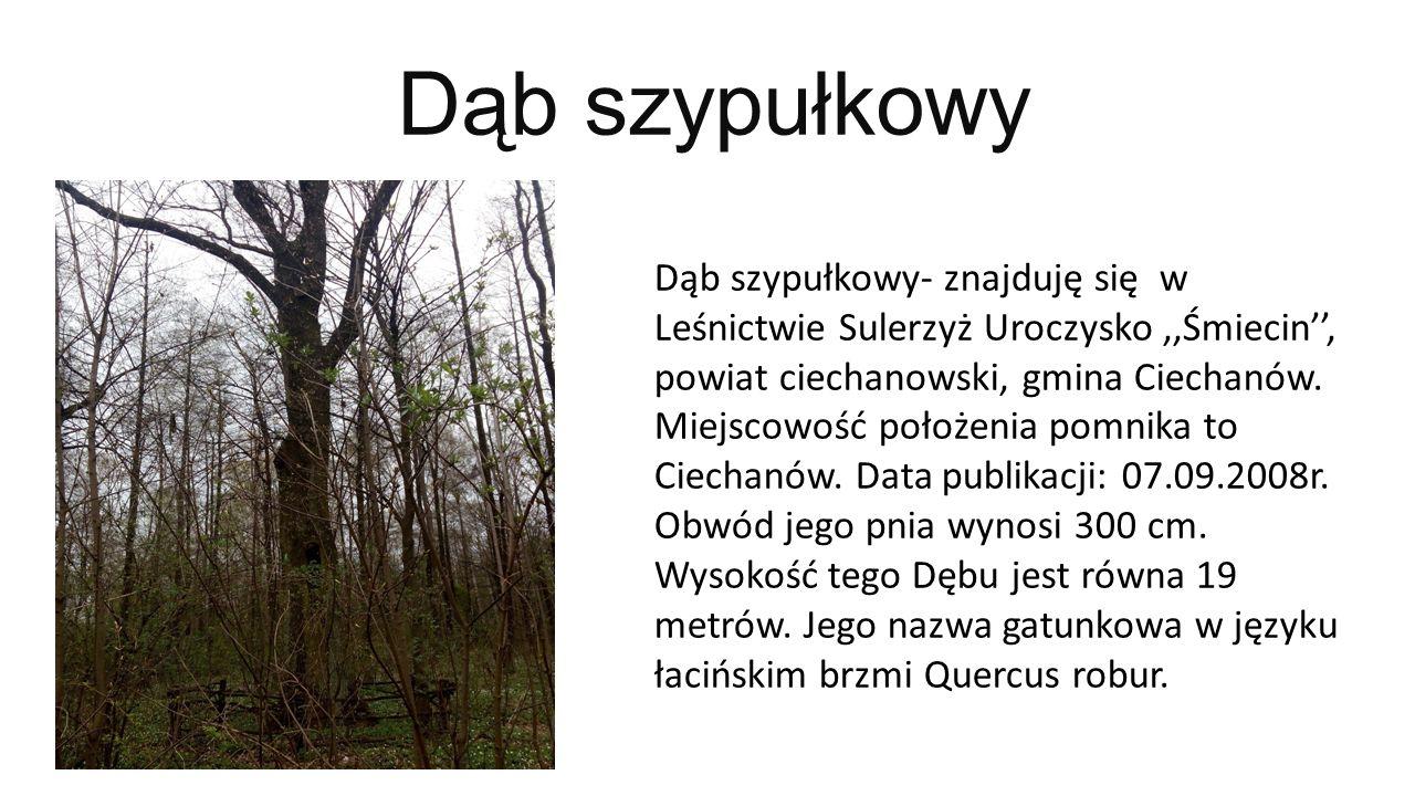 Dąb szypułkowy Dąb szypułkowy- znajduję się w Leśnictwie Sulerzyż Uroczysko,,Śmiecin'', powiat ciechanowski, gmina Ciechanów. Miejscowość położenia po