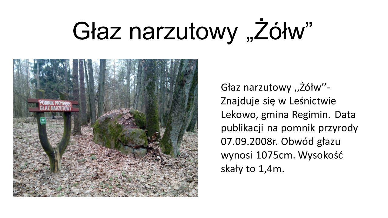 """Dąb szypułkowy,,Uparty Mazur'' Dąb szypułkowy """"Uparty Mazur - znajduje się w powiecie ciechanowskim, gmina Ojrzeń w miejscowości Młock."""
