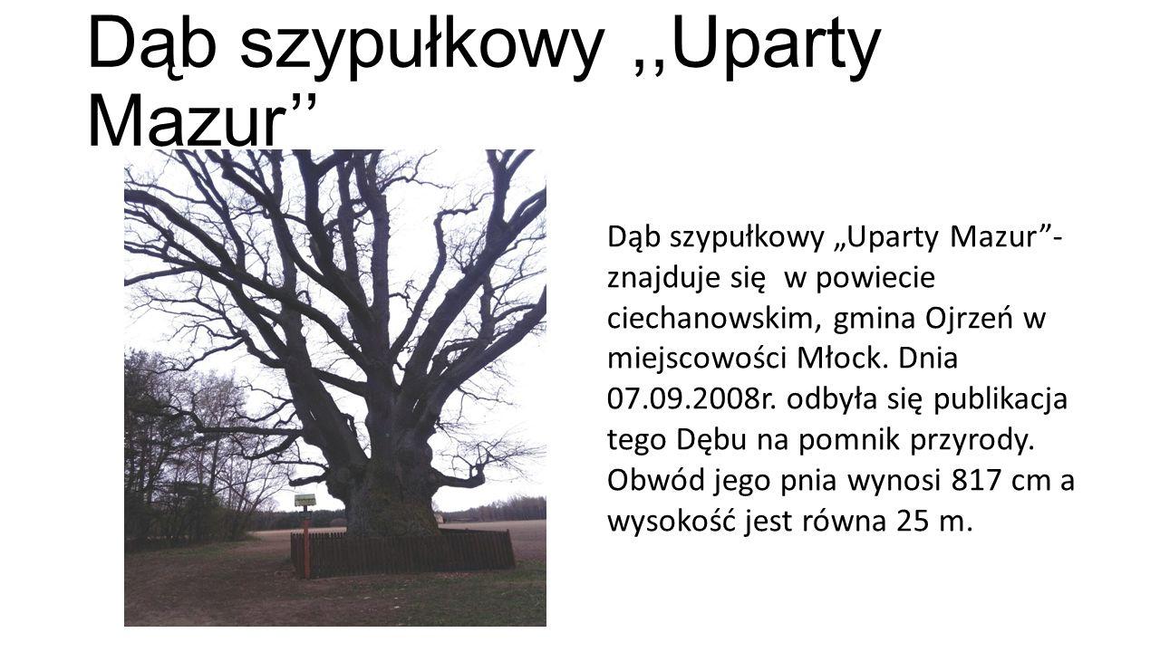 """Dąb szypułkowy,,Uparty Mazur'' Dąb szypułkowy """"Uparty Mazur""""- znajduje się w powiecie ciechanowskim, gmina Ojrzeń w miejscowości Młock. Dnia 07.09.200"""