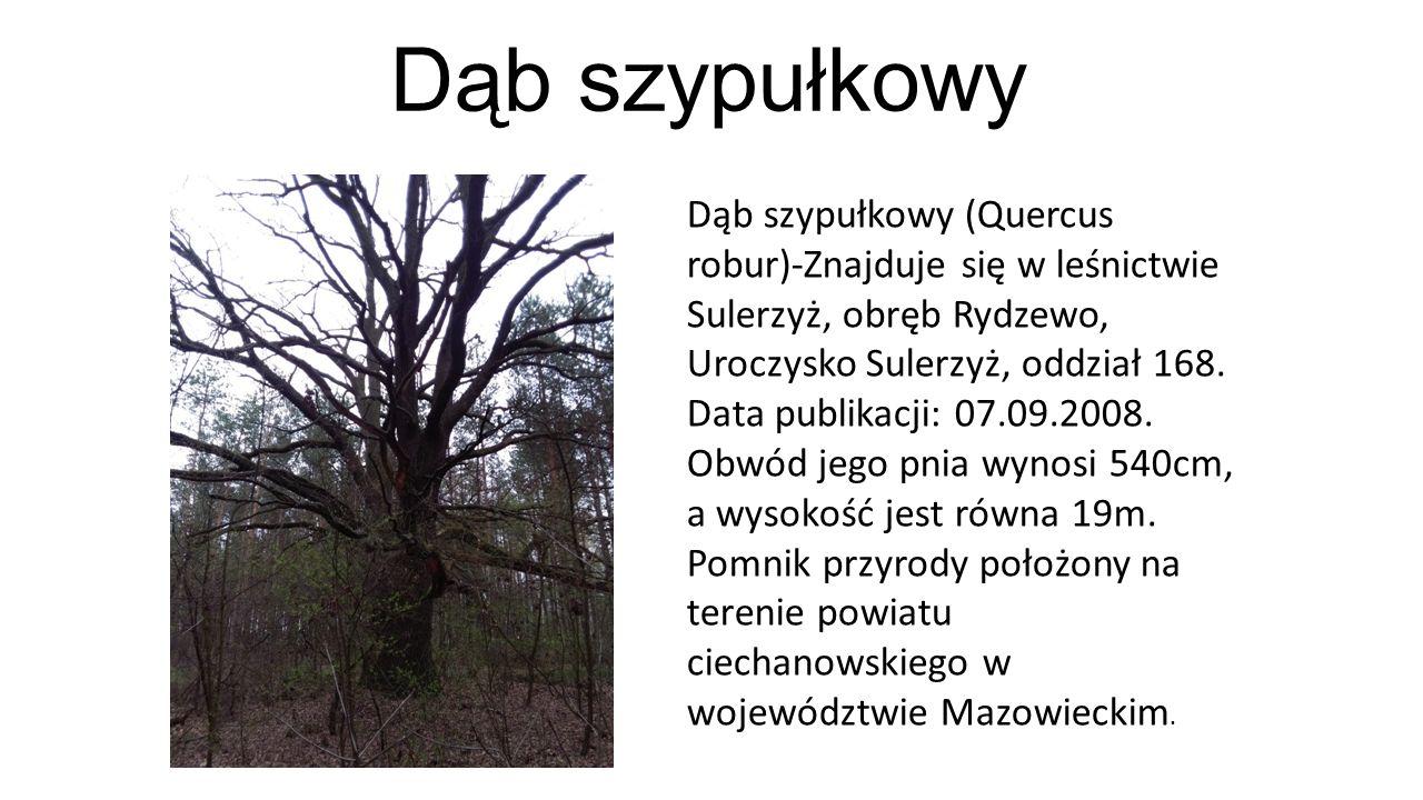 Dąb szypułkowy Dąb szypułkowy (Quercus robur)-Znajduje się w leśnictwie Sulerzyż, obręb Rydzewo, Uroczysko Sulerzyż, oddział 168. Data publikacji: 07.