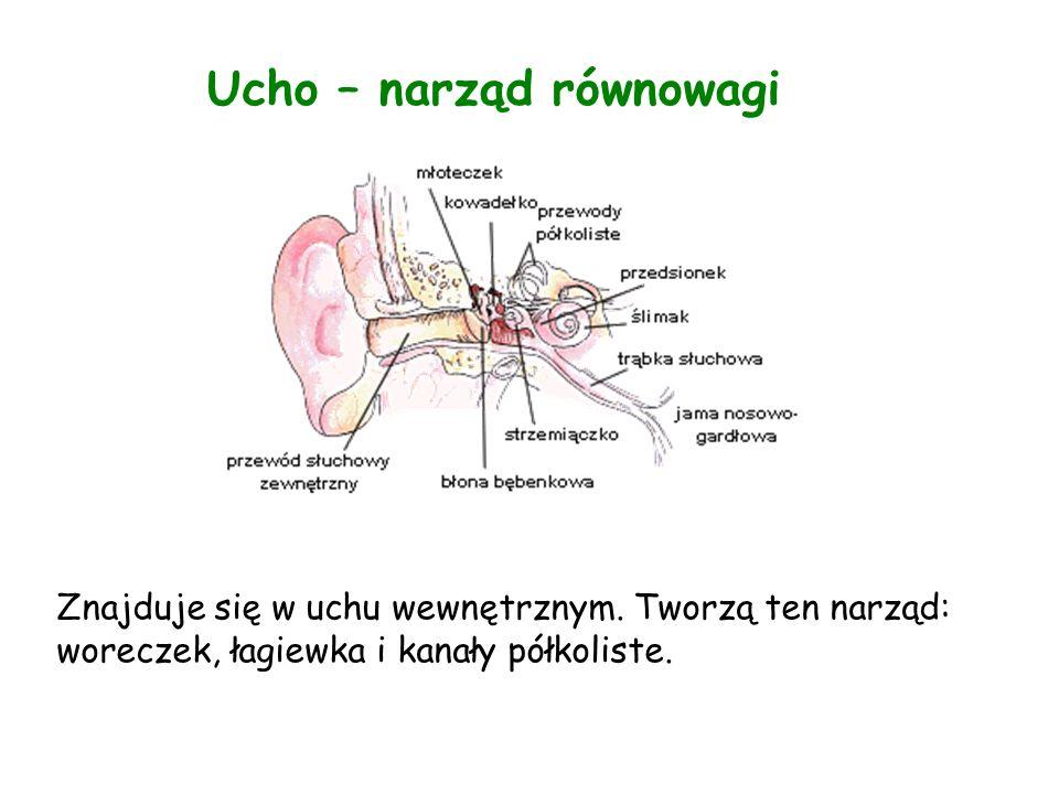 Ucho – narząd równowagi Znajduje się w uchu wewnętrznym.