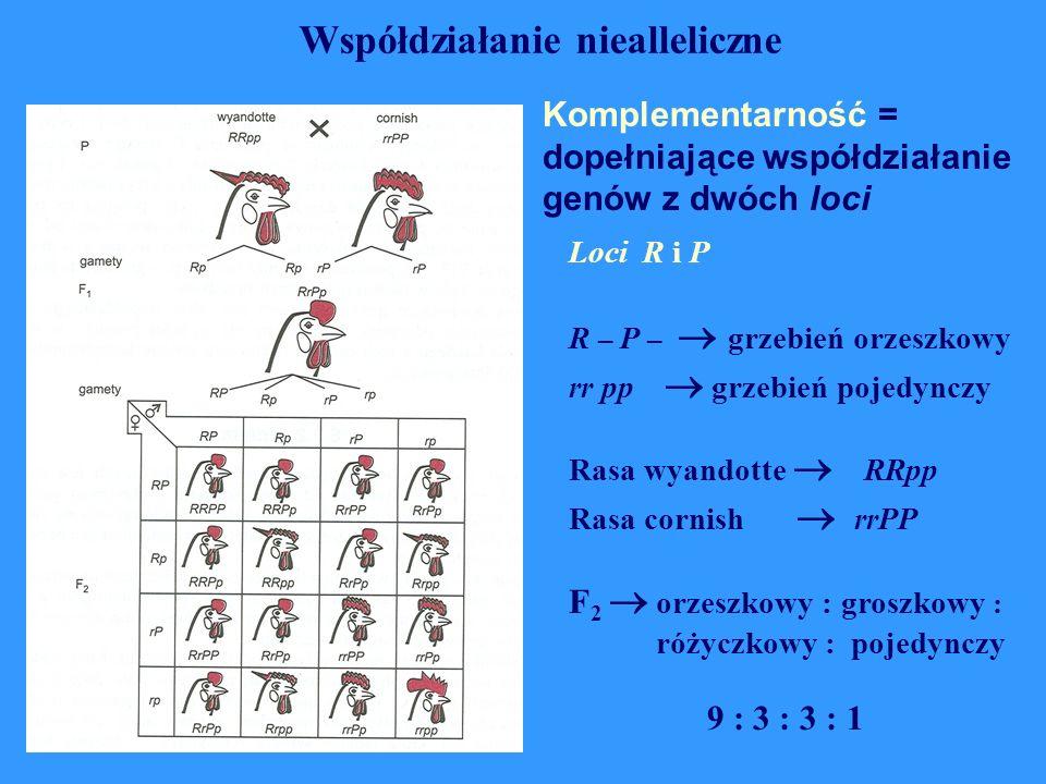 Komplementarność = dopełniające współdziałanie genów z dwóch loci Współdziałanie niealleliczne Loci R i P R – P –  grzebień orzeszkowy rr pp  grzebi
