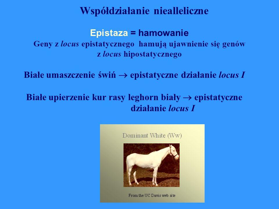Epistaza = hamowanie Geny z locus epistatycznego hamują ujawnienie się genów z locus hipostatycznego Białe umaszczenie świń  epistatyczne działanie l