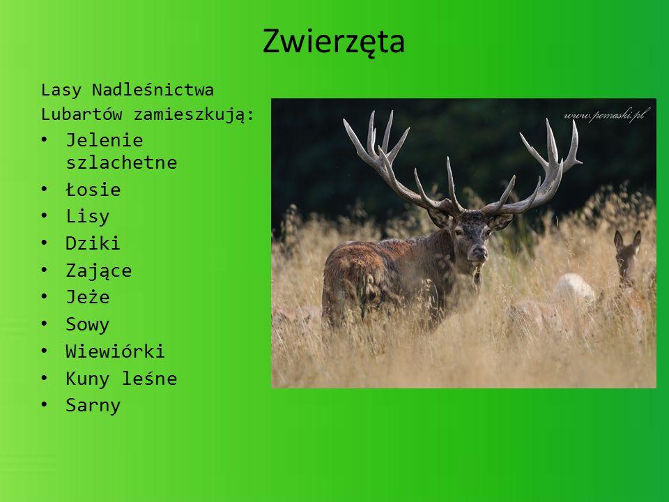 Zwierzęta Lasy Nadleśnictwa Lubartów zamieszkują: Jelenie szlachetne Łosie Lisy Dziki Zające Jeże Sowy Wiewiórki Kuny leśne Sarny