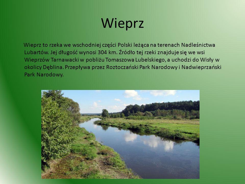 Wieprz Wieprz to rzeka we wschodniej części Polski leżąca na terenach Nadleśnictwa Lubartów.