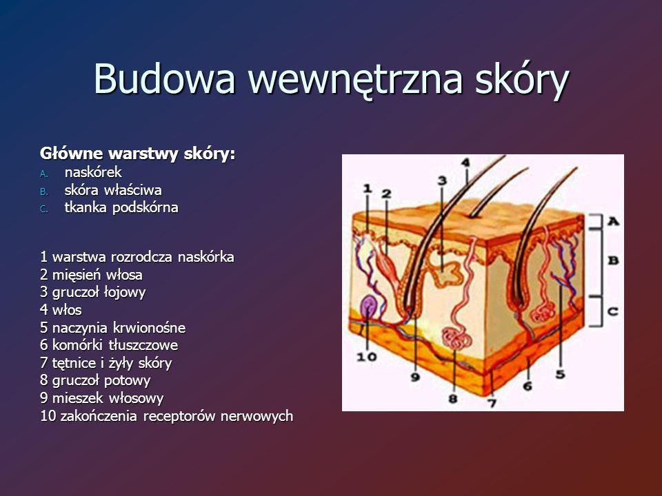 Budowa wewnętrzna skóry Główne warstwy skóry: A. naskórek B.