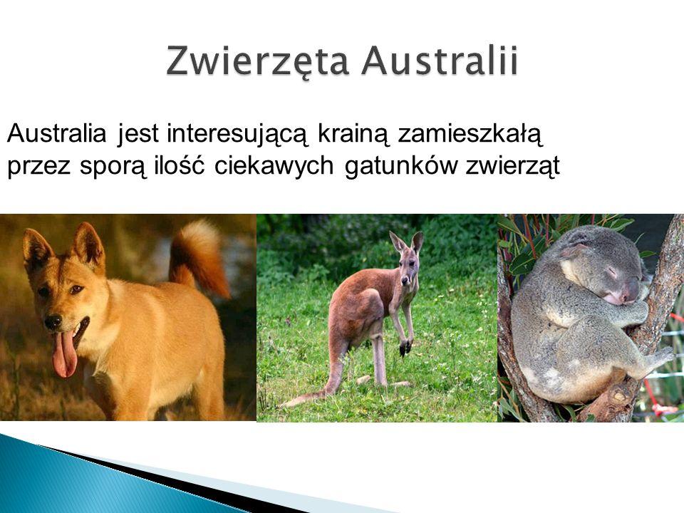 Australia jest interesującą krainą zamieszkałą przez sporą ilość ciekawych gatunków zwierząt
