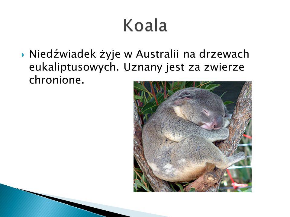  Niedźwiadek żyje w Australii na drzewach eukaliptusowych. Uznany jest za zwierze chronione.