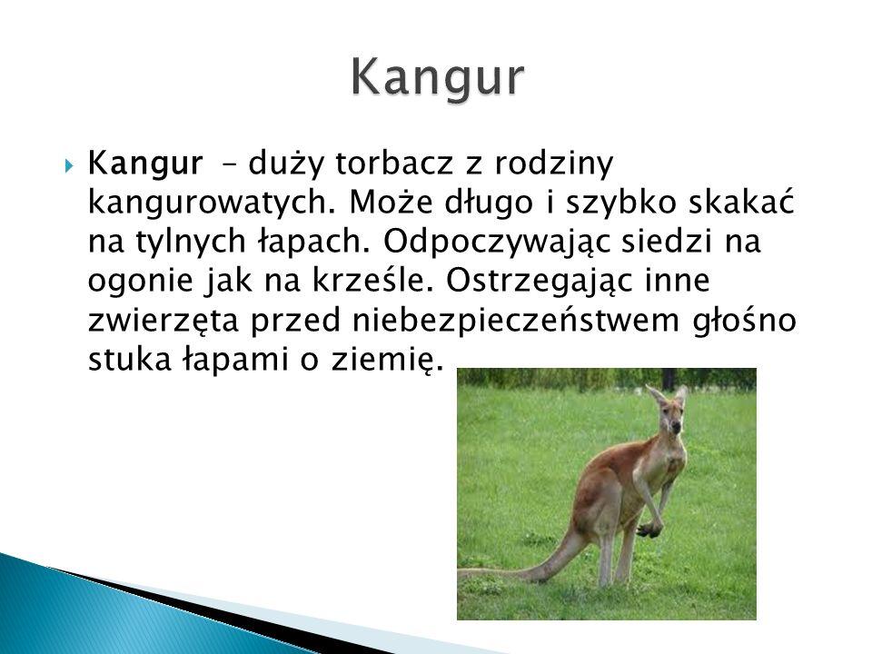  Kangur – duży torbacz z rodziny kangurowatych. Może długo i szybko skakać na tylnych łapach. Odpoczywając siedzi na ogonie jak na krześle. Ostrzegaj