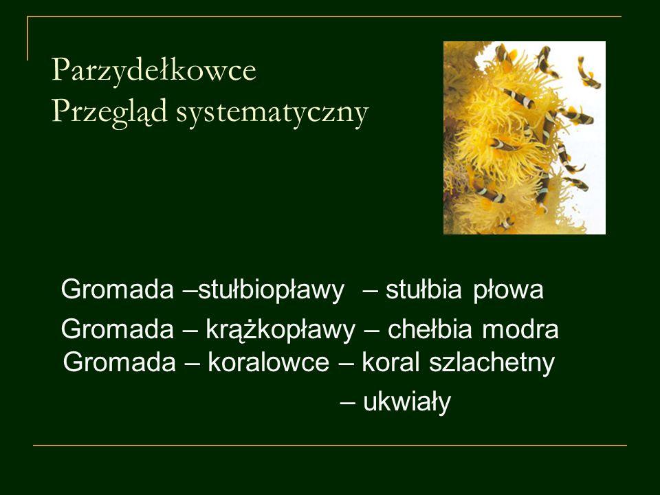 Parzydełkowce Przegląd systematyczny Gromada –stułbiopławy – stułbia płowa Gromada – krążkopławy – chełbia modra Gromada – koralowce – koral szlachetn