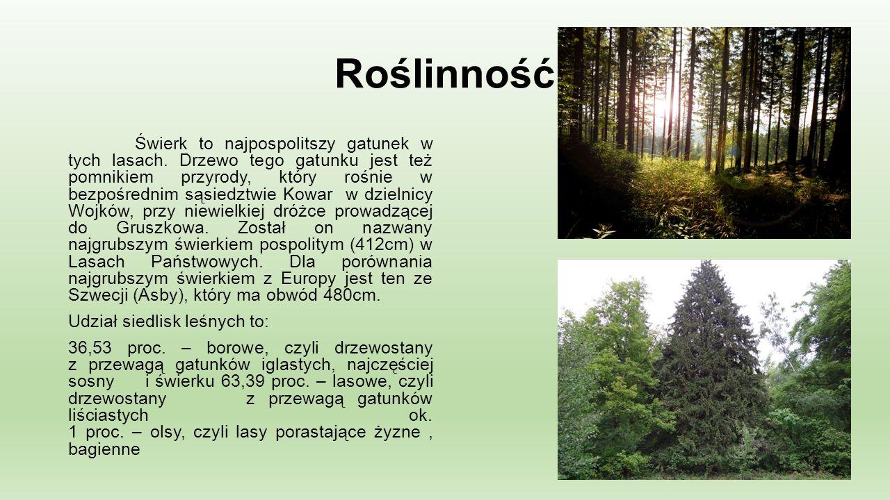 Roślinność Świerk to najpospolitszy gatunek w tych lasach.