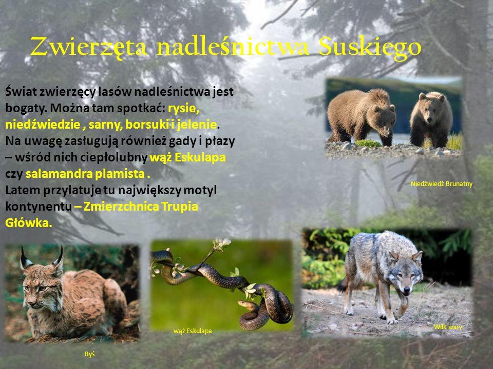 Zwierz ę ta nadle ś nictwa Suskiego Świat zwierzęcy lasów nadleśnictwa jest bogaty. Można tam spotkać: rysie, niedźwiedzie, sarny, borsuki i jelenie.