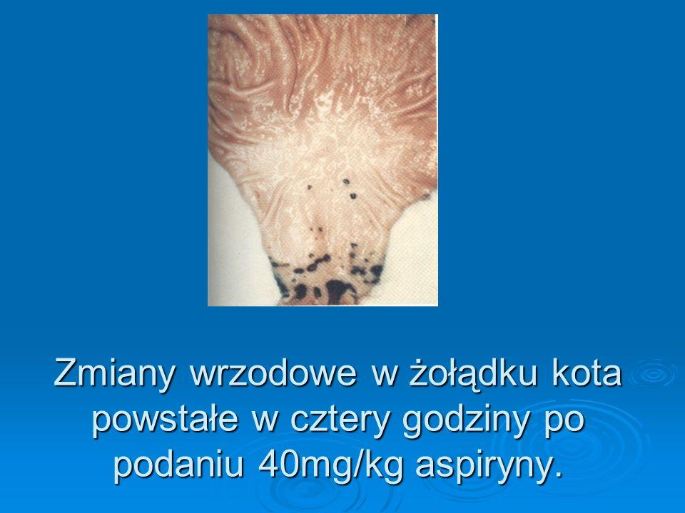 Zmiany wrzodowe w żołądku kota powstałe w cztery godziny po podaniu 40mg/kg aspiryny.