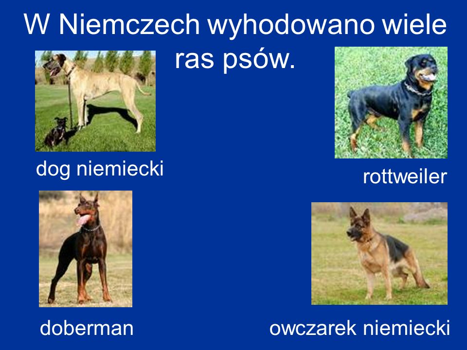 W Niemczech wyhodowano wiele ras psów. doberman dog niemiecki owczarek niemiecki rottweiler