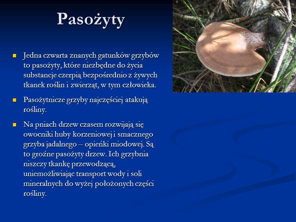 Pasożyty Jedna czwarta znanych gatunków grzybów to pasożyty, które niezbędne do życia substancje czerpią bezpośrednio z żywych tkanek roślin i zwierzą