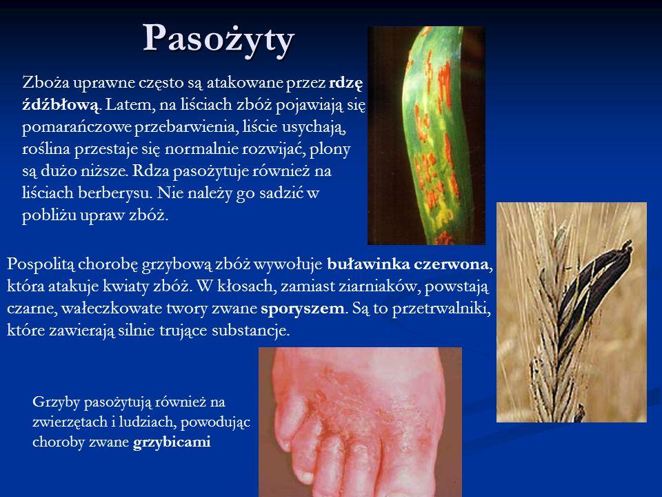 Pasożyty Pospolitą chorobę grzybową zbóż wywołuje buławinka czerwona, która atakuje kwiaty zbóż. W kłosach, zamiast ziarniaków, powstają czarne, wałec