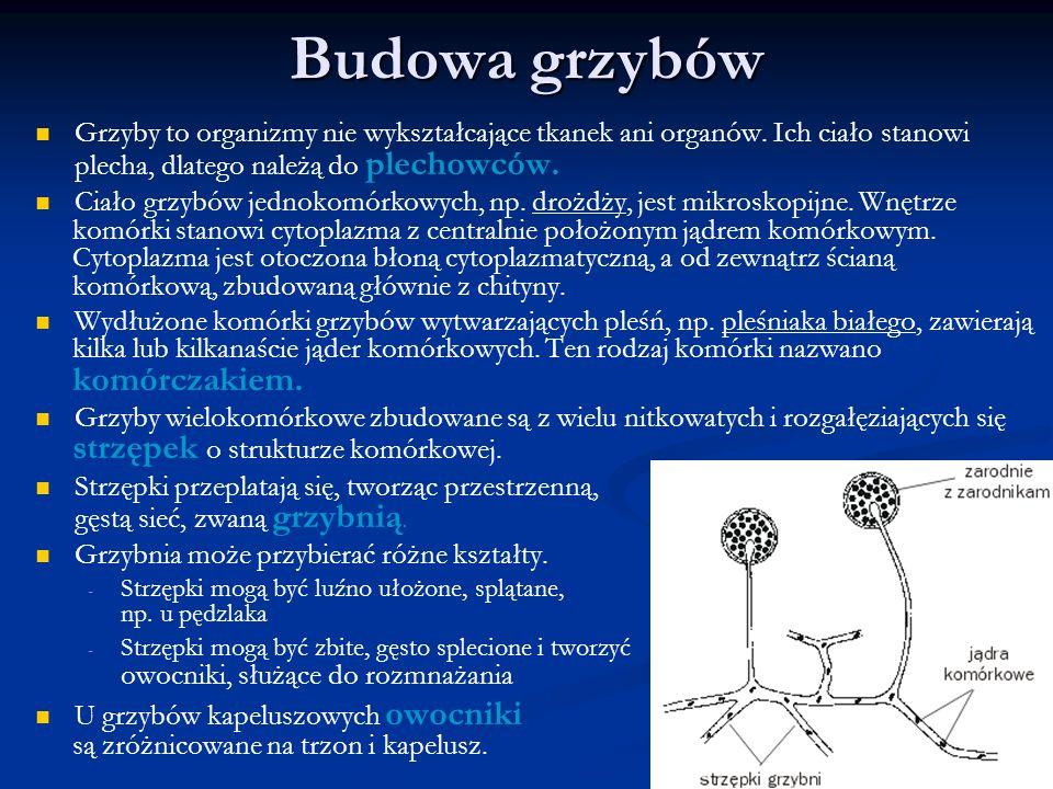 Budowa grzybów Grzyby to organizmy nie wykształcające tkanek ani organów. Ich ciało stanowi plecha, dlatego należą do plechowców. Ciało grzybów jednok