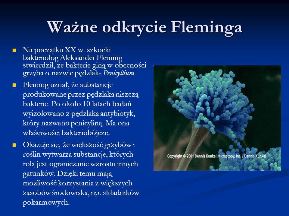 Ważne odkrycie Fleminga Na początku XX w. szkocki bakteriolog Aleksander Fleming stwierdził, że bakterie giną w obecności grzyba o nazwie pędzlak- Pen