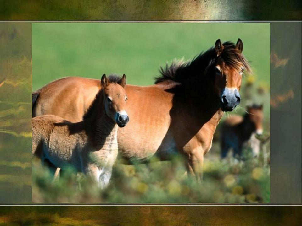 Okres renesansu w Europie to intensywny rozw ó j hodowli koni, szk ó ł jeździeckich i rycerskich, kreowania pierwszych kr ó lewskich stadnin.